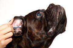 Limpieza de los oídos de perro del boxeador Fotografía de archivo libre de regalías