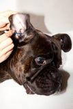 Limpieza de los oídos de perro del boxeador Fotografía de archivo