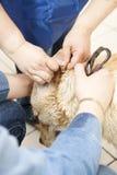 Limpieza de los oídos de perro del labrador retriever Fotografía de archivo libre de regalías