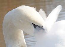 Limpieza del cisne Foto de archivo