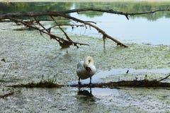 Limpieza del cisne en la costa del ` s del lago imagen de archivo