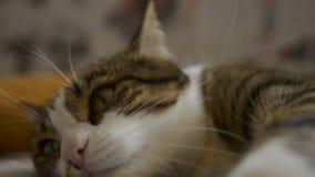 Limpieza del gato de gato atigrado y mentira en un sofá 60 cantidad de FPS HD almacen de metraje de vídeo
