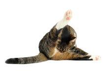 Limpieza del gato doméstico Imágenes de archivo libres de regalías