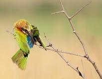 Limpieza del pájaro del comedor de abeja Foto de archivo libre de regalías