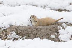 Limpieza del perro de las praderas en guarida de la nieve Fotos de archivo