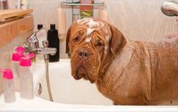 Limpieza del perro Dogue De Bordeaux en baño Fotografía de archivo libre de regalías