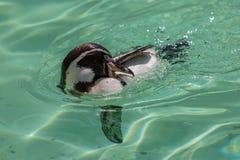 Limpieza del pingüino de Humbolt mientras que nada fotografía de archivo