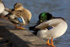 Limpieza misma del pato Imagen de archivo libre de regalías