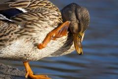 Limpieza misma del pato Imagen de archivo