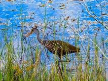 Limpkin,寻找苹果蜗牛在一个热带池塘 免版税库存照片