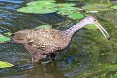 Limpkin при обедающий wading через воду Стоковое Изображение