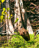Limpkin Stock Photos
