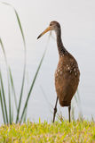 Limpkin Royalty Free Stock Image