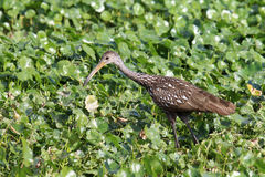 Limpkin images stock