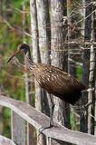 Limpkin. Rare bird, makes sounds that can be heard on the long distance Royalty Free Stock Images