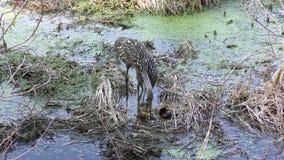 Limpkin alimenta seu pintainho nos pantanais filme