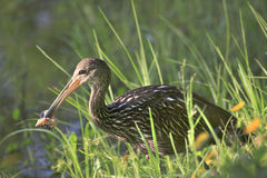 Limpkin With an Apple Snail Which It has Removed from it's Shell Royalty Free Stock Photography