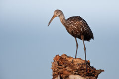Limpkin (Aramus guarauna) Royalty Free Stock Photos