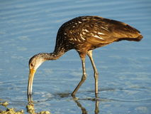 Limpkin (Aramus guarauna) Stockfoto