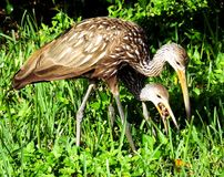 Limpkin (Aramus guarauna) Stockbild