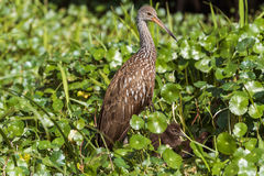 Limpkin Aramus guarauna with chicks. Limpkin adult bird with babies almongst lily pads Stock Photography