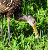 Limpkin (Aramus guarauna). Limpkin eating a freshwater snail in the grass Stock Photography