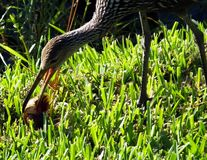 Limpkin (Aramus guarauna). Limpkin eating a freshwater snail in the grass Stock Images