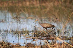 Limpkin Royalty Free Stock Images