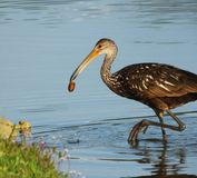 Limpkin (Aramus guarauna) Royalty Free Stock Images