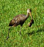 Limpkin (Aramus guarauna). Limpkin with freshwater snails walking in the grass Stock Images