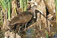 Limpkin, Aramus guarauna, hunting in marsh. A Limpkin, Aramus guarauna, hunting in marsh Royalty Free Stock Images