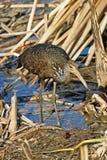 Limpkin, Aramus guarauna, hunting in reeds. A Limpkin, Aramus guarauna, hunting in reeds Stock Photography
