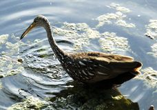 Limpkin (Aramus guarauna). Limpkin looking for freshwater snails in a lake Royalty Free Stock Image