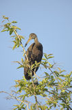 Limpkin (Aramus guarauna). Perched in a tree, Araras Ecolodge,  Mato Grosso, Brazil Royalty Free Stock Images