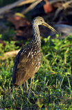 The limpkin (Aramus guarauna) Royalty Free Stock Image