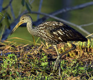 The limpkin (Aramus guarauna) Stock Image