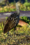 The limpkin (Aramus guarauna) Stock Photo
