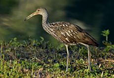 The limpkin (Aramus guarauna) Stock Photography
