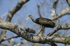 Limpkin, Aramus guarauna,. Single bird on branch, Brazil Stock Photo