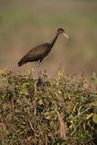 Limpkin, Aramus guarauna. Single bird on bush, Brazil Stock Image