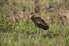 Limpkin, Aramus guarauna. Single bird in water, Brazil Stock Image