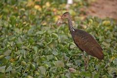 Limpkin, Aramus guarauna. Single bird by water, Brazil Royalty Free Stock Photography