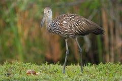 Limpkin (Aramus guarauna). Standing in a grass Royalty Free Stock Photos