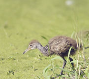 Limpkin Baby Bird Royalty Free Stock Images
