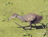 Limpkin Baby Bird Stock Photos