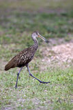 Limpkin bird Royalty Free Stock Photo