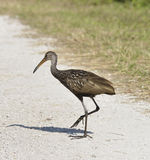 Limpkin Bird Royalty Free Stock Photography