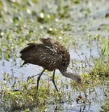 Limpkin Bird Royalty Free Stock Image