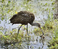 Limpkin Bird Stock Photos