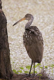 Limpkin. This bird feeds almost entirely on apple snails, extracting them from their shells with its beak. Residents of southern swamps and marshes, they are stock image